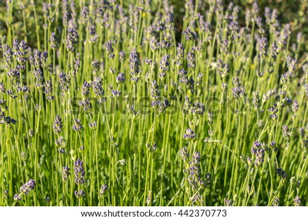 Lavender field closeup. Blooming lavender. Aromatic lavender flowers over bright sun. Selective focus. Lot of tiny blue flowers on meadow. Sunny day. Filled frame picture. Freshness, purity, romantic. - stock photo