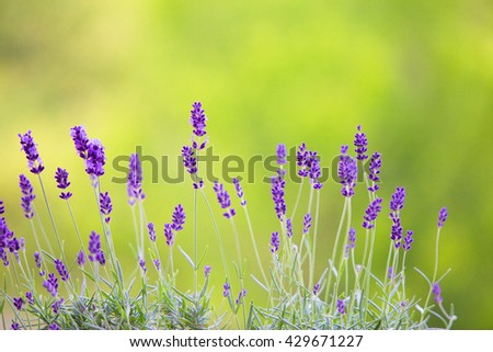 Lavender field closeup. Blooming lavender.  Aromatic lavender flowers over sunset sky. - stock photo