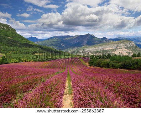 Lavender field, France, mountains  in Provence  - stock photo