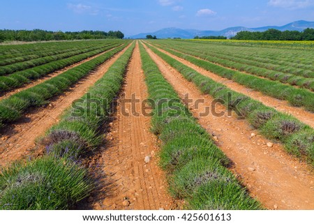 Lavender field harvesting near Valensole in Provence France, Europe - stock photo