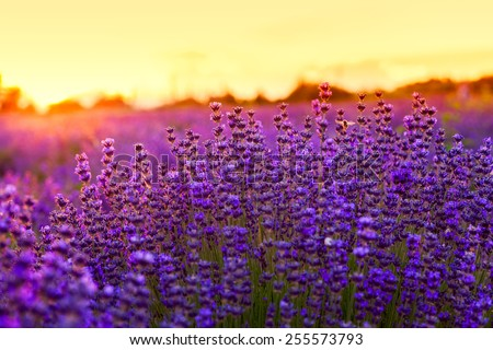 Lavender field in Summer near Tihany, Hungary - stock photo