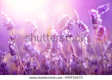 Lavender field in sunlight - stock photo