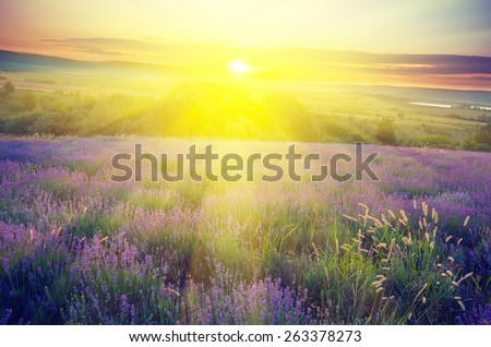 Lavender field in the early morning sun on a background with rays of the rising sun. Vintage composition - stock photo