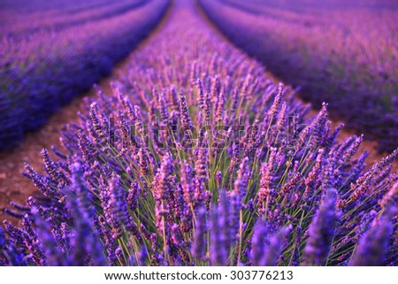 Lavender field in the summer in Valensole.Provence,France.( soft focus) - stock photo