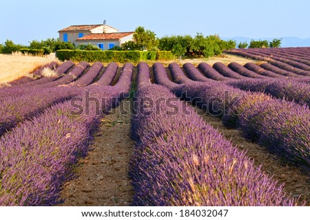 Lavender field is in front of rural house in Provence, France. - stock photo