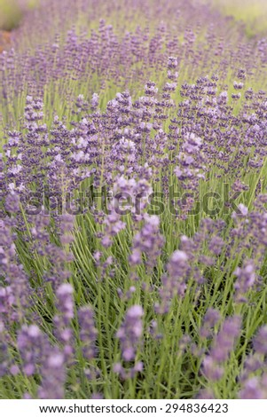 Lavender field. Planting and care. - stock photo