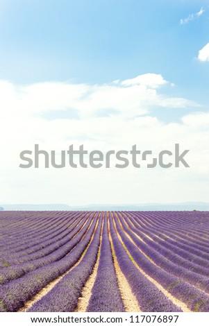 lavender field, Plateau de Valensole, Provence, France - stock photo