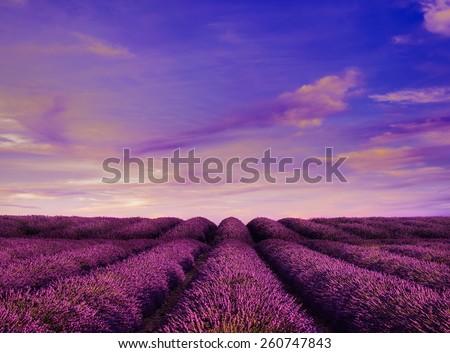 Lavender field Summer sunset landscape - stock photo
