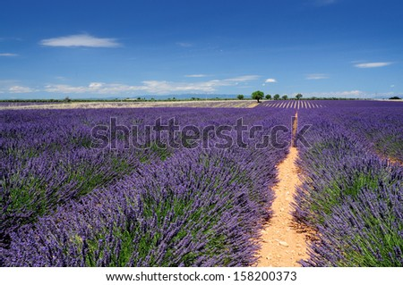Lavender field. The plateau of Valensole in Provence  - stock photo
