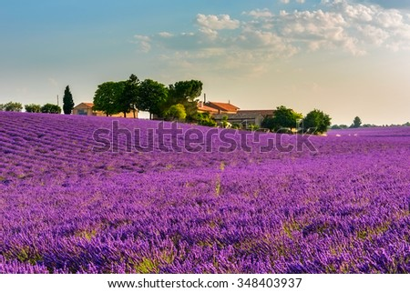 Lavender field with a farm and trees in the French Provence. Colorful picture of lavender flowers in the gentle pink light of morning. Plateau de Valensole, France - stock photo