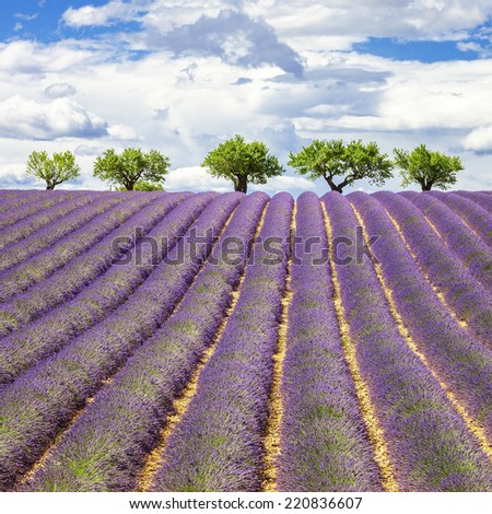 Lavender field with cloudy sky, France, Europe - stock photo