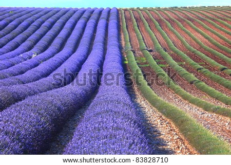lavender field with purple and green rows - stock photo