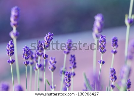Lavender field with purple filter - stock photo
