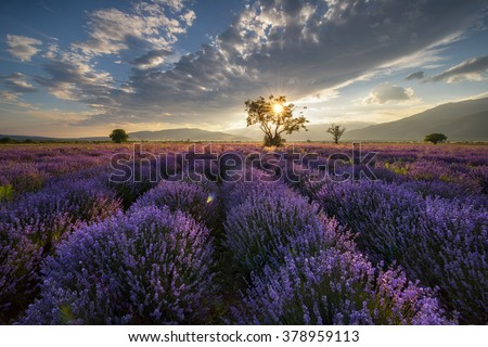 Lavender field with tree at sunset in Bulgaria - stock photo
