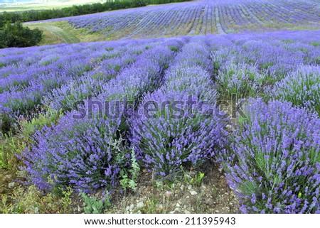 Lavender fields  - stock photo