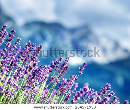 Lavender fields beneath French Alps, natural border of a beautiful little purple flowers, beauty of gorgeous nature of France - stock photo