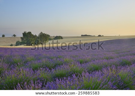 lavender fields in Provence - stock photo