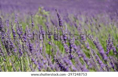 Lavender fields in Provence, France - stock photo