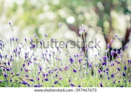 Lavender flower - Beautiful lavender flower lit by sunlight - stock photo