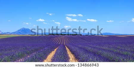 Lavender flower blooming fields in endless rows and trees on background. Landscape in Valensole plateau, Provence, France, Europe. - stock photo