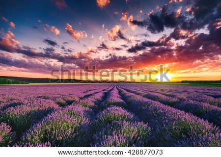 Lavender flower blooming fields in endless rows. Sunset shot. - stock photo