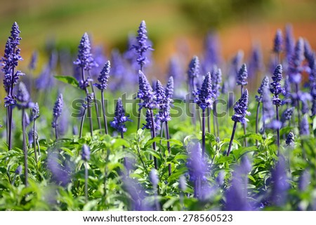 Lavender flower blooming in garden  - stock photo