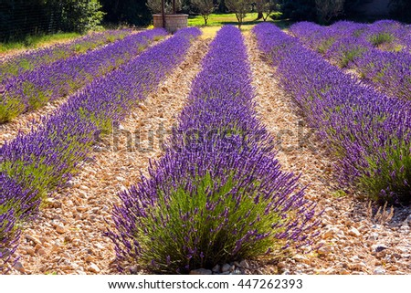 Lavender flower blooming scented fields in endless rows - stock photo