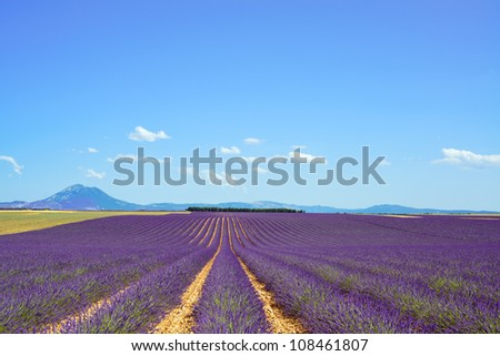 Lavender flower blooming scented fields in endless rows and trees on background. Landscape in Valensole plateau, Provence, France, Europe. - stock photo