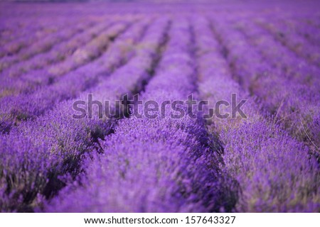 Lavender flower blooming scented fields in endless rows. Purple lavander flowers field. Aromatherapy lavender. Sunset over a summer purple lavender field. Europe. France - stock photo