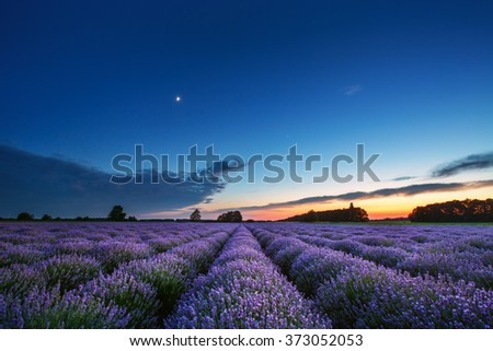 Lavender flower blooming scented fields in endless rows. Sunset shot. - stock photo