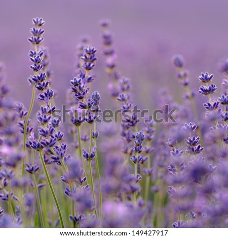 Lavender flower close up - stock photoLavender Flower Close Up