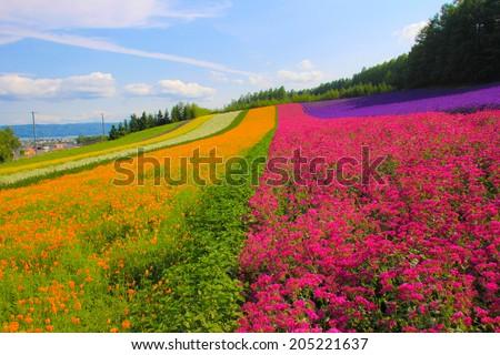 Lavender flower field. - stock photo