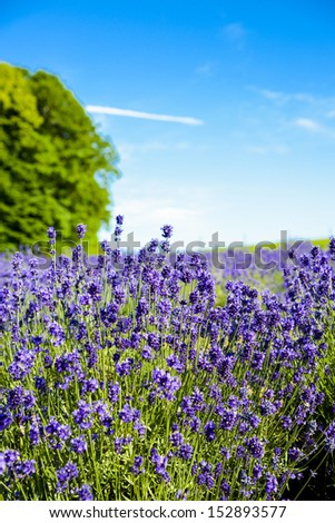 Lavender flower garden - stock photo