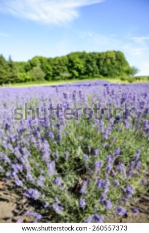 Lavender flower garden in Blur style - stock photo