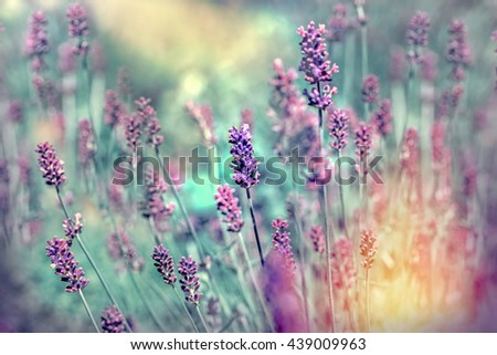 Lavender flower in flower garden - stock photo