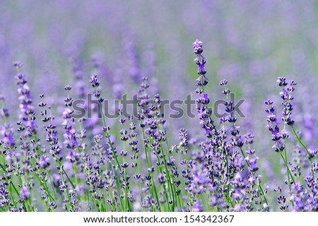 Lavender flower, north of Japan - stock photo