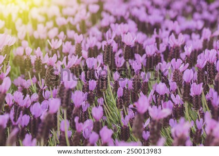 lavender flower with sunlight - stock photo