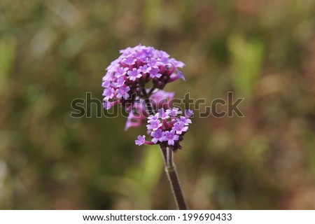 Lavender Flowers. - stock photo