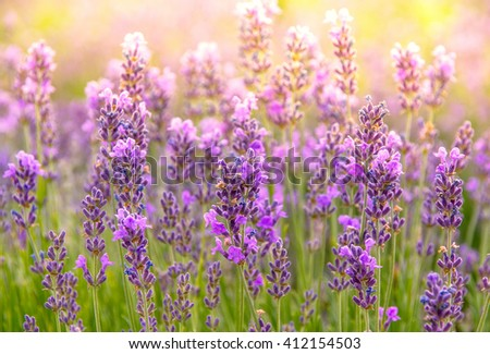 Lavender flowers at sunlight, bright colors and bokeh effect. Floral background with purple lavender - aromatic herbs for aromatherapy. Sunset on violet lavender field. - stock photo