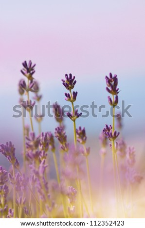 Lavender flowers bloom summer time - stock photo