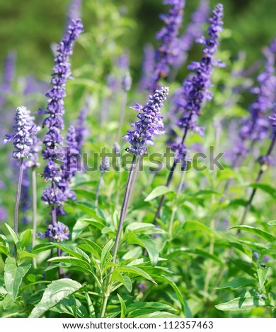 Lavender flowers blooming in a field during summer - stock photo