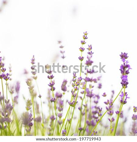 Lavender flowers close-up, fresh purple aromatic wildflower. - stock photo