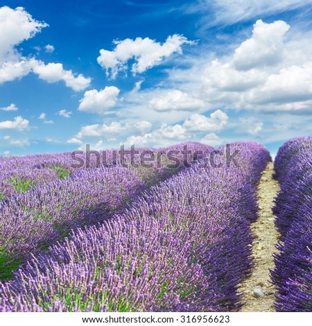 Lavender flowers field with summer blue sky, Provence, France - stock photo