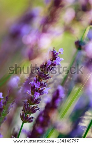 Lavender flowers, herbs in the garden - stock photo