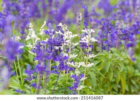 lavender flowers in garden - stock photo