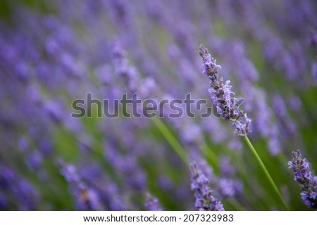 Lavender flowers isolated, close up of a lavender shrub - stock photo