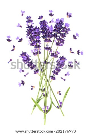 Lavender flowers isolated on white. Fresh provencal plant blossoms - stock photo