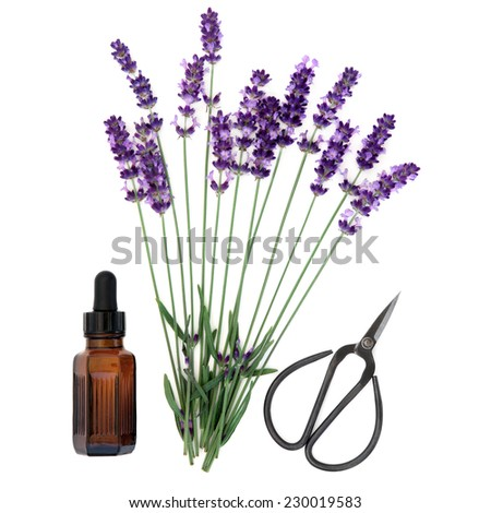 Lavender herb flower stems with aromatherapy essential oil bottle and scissors over white background. Lavandula angustifolia. - stock photo