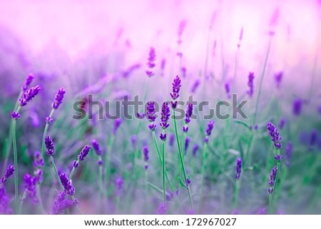 Lavender in my garden - stock photo