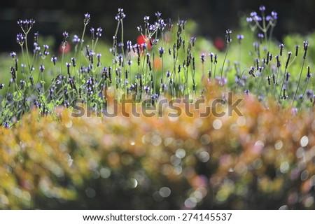 Lavender in my garden - stock photo